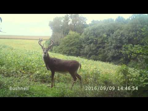Wisconsin whitetail Black Earth, Wisconsin September 9, 2016
