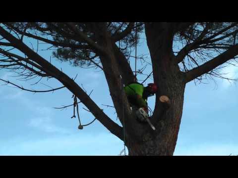 Tala de un pino gigante de 60 aos, paso a paso