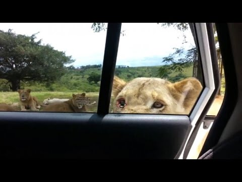 Lion Opens Car Door Terrifying Family Youtube
