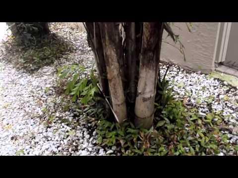 Dougherty's Garden - Caryota Mitis - Fishtail Palm Tree - 08