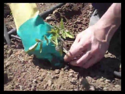 Plantar tomates con goteo huerto 2013 youtube - Cuando plantar tomates ...