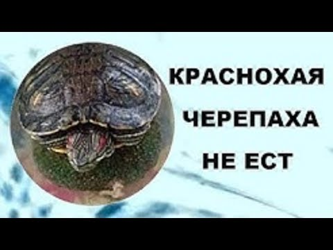 Красноухая черепаха не ест.