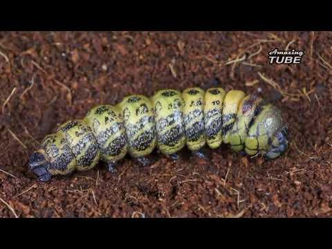 Как из гусеницы получается бабочка видео