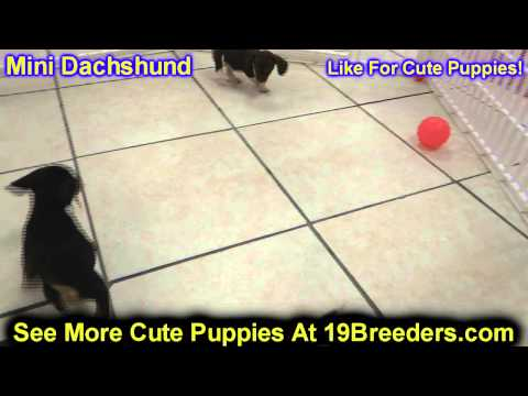Miniature Dachshund, Puppies, Dogs, For Sale, In Hempstead Town, Borough, New York, NY, 19Breeders
