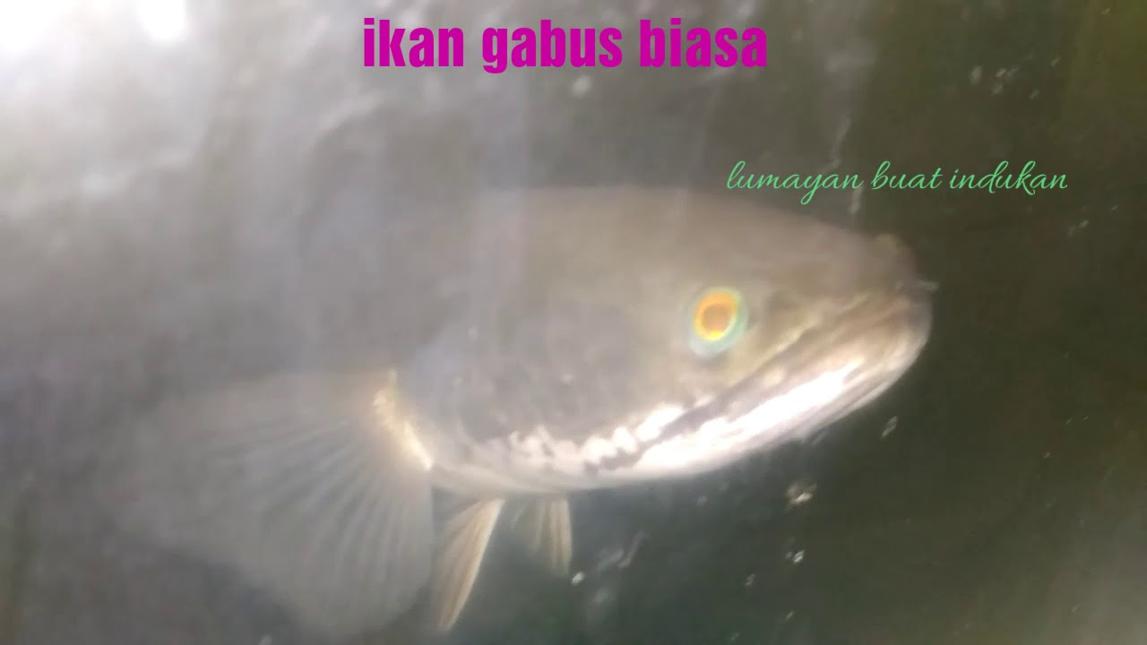 Ikan yang kuat tanpa AIRRATOR - YouTube