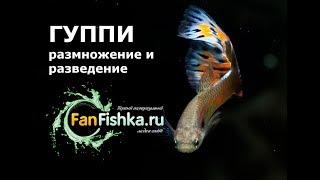 ГУППИ размножение, разведение и роды этих рыбок видео-обзор
