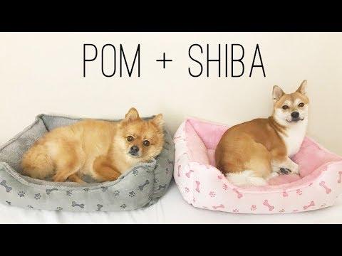 When Pom Meets Shiba Inu