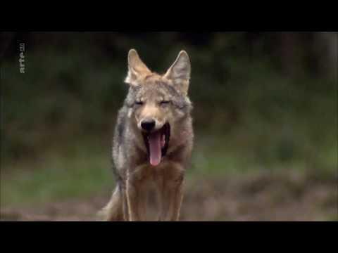Vidéo Narration -Les loups, nos voisins - Arte