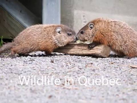 Wildlife in Quebec
