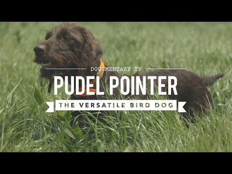 FIELD TRAINING: PUDELPOINTERS THE POODLE POINTER CROSS