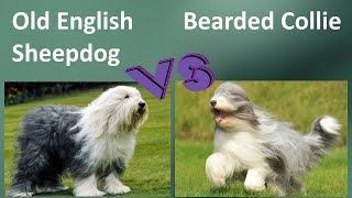 Old English Sheepdog VS Bearded Collie  Breed Comparison