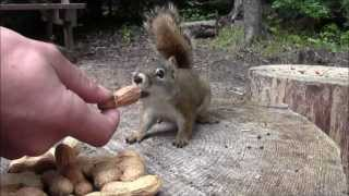 Hand feeding squirrel's while camping in The Hills east of Hudson Bay, Sk South of Armit, Sk