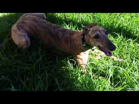 Happy Greyhound Zoomies