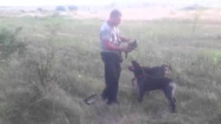 Deutsch Drahthaar Hunting Dog Training