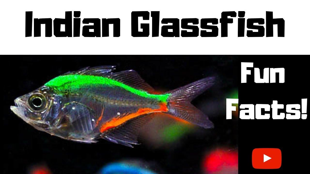 b4bed9ba2e7 Indian Glassfish Fun Facts - YouTube