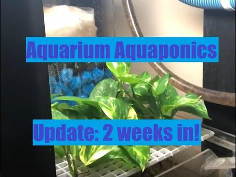 Aquarium Aquaponics Pothos In A 75 Gallon Oscar Tank