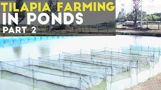 Tilapia Farming in Ponds Part 2 : Tilapia in Pond Cultural Practices | Agribusiness Philippines