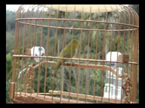 Suara Burung Pleci untuk Pikat Mp3