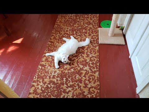 Super lovely Turkish Angora cat🤗❤️🐈 - cute cat video