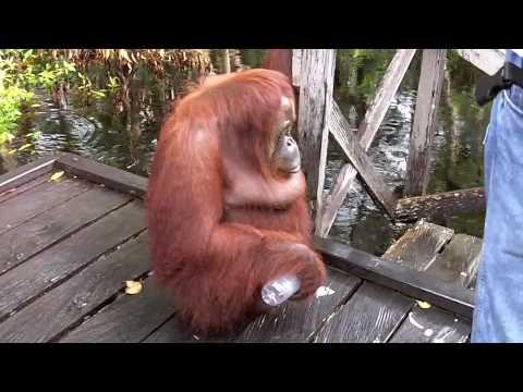 Orangutan has coffee break on boat pier