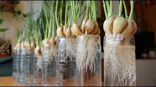 Planting garlic - new method of gardeners