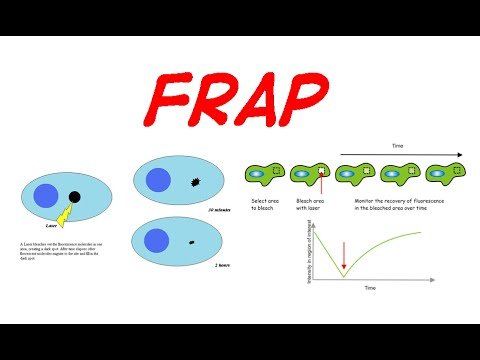 Fluorescence recovery after photobleaching | FRAP