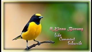 Kicau Song Thrush Durasi Lama Untuk Masteran HIGH QUALITY SOUND