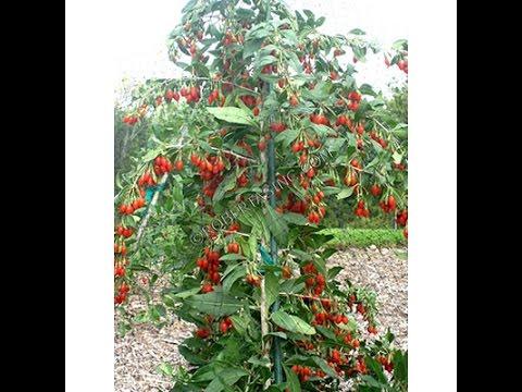 ягоды годжи применение омепразола
