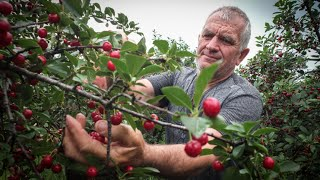 Supporting Serbia's Sour Cherry Production