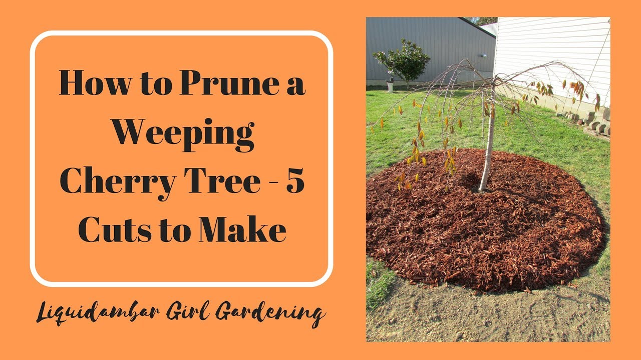 How To Prune A Weeping Cherry Tree 5 Cuts You Should Make