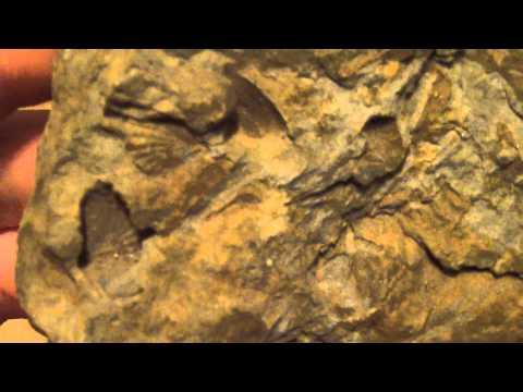 Fossils (Devonian period) found in western Pennsylvania
