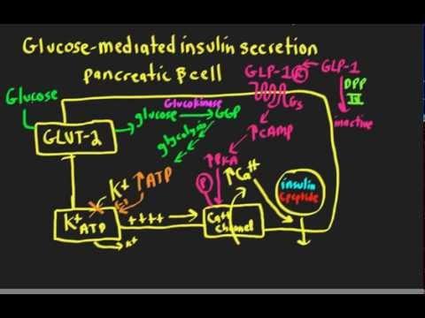 Schneid Guide to Glucose Mediated Insulin Secretion.mp4