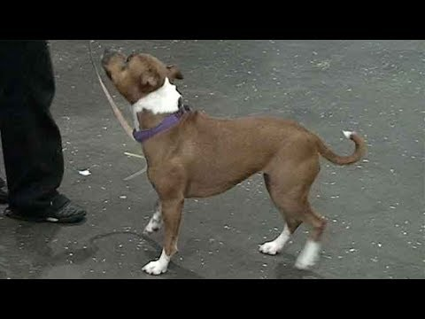 Dog Breed Video: Staffordshire Bull Terrier