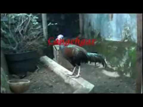 suara ayam hutan hijau