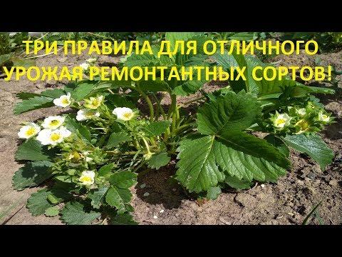 Ремонтантная клубника. Выращивание, уход за ремонтантной клубникой в Сибири и не только.