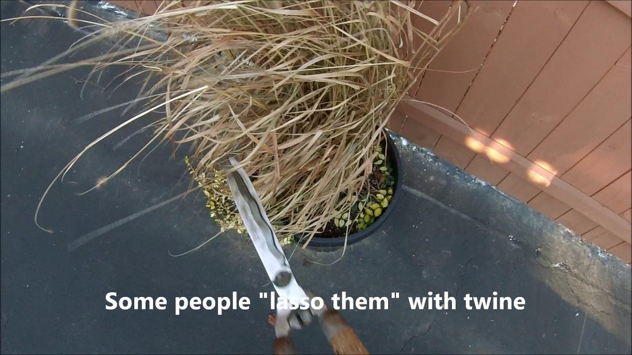 Cutting back ornamental grass in the fall youtube cutting back ornamental grass in the fall workwithnaturefo