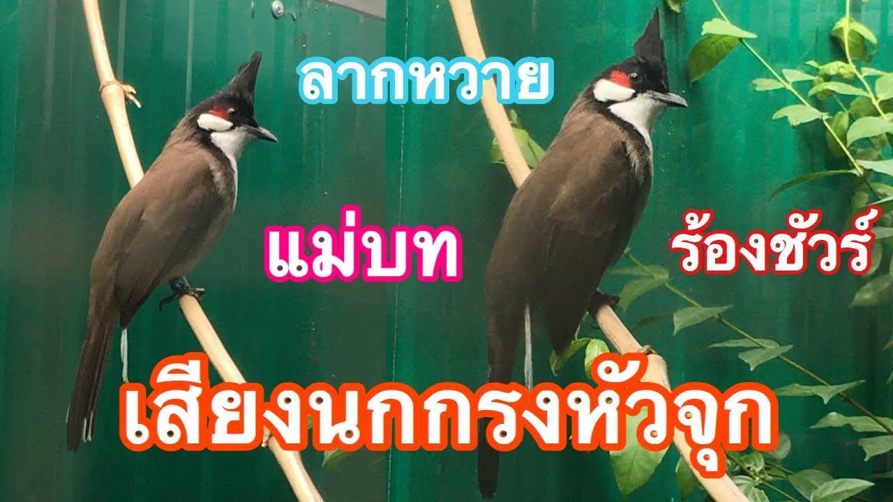 นกกรงหัวจุก | เสียงร้องลากหวาย แม่บท คมชัด นกฟังร้องตามชัวร์ ไว้ฝึกนก (ซุปเปอร์ แจ๊ค) Ep.189