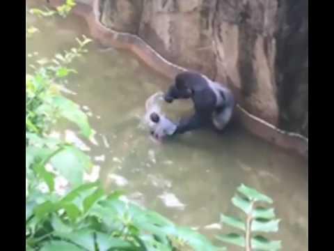 FULL : Boy falls into Gorilla World exhibit at Cincinnati Zoo RIP Harambe
