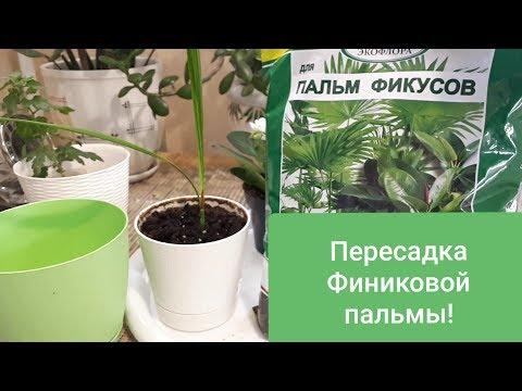 Как пересадить финиковую пальму из косточки в домашних условиях