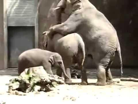 pene del elefante