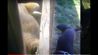 Dog Pissing Contest Through Fence