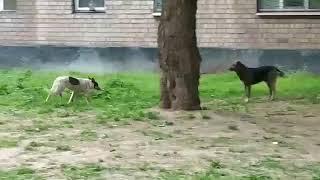 Дворовые собаки на Соцгороде в Кривом Роге покусали ребенка