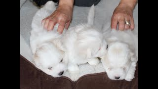 Coton Puppies For Sale - Foxy 12/10/19