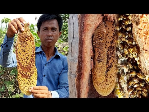 Harvesting Natural Honey Bee in Coconut Tree | Life of Natural Foods
