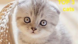 Шотландская Абиссинская кошка Рэгдолл. Scottish Fold Abyssinian Ragdoll cat cute kittens(Подписывайтесь на мой канал :) 3 очень красивые породы кошек: Шотландская кошка, Абиссинская кошка, кошка..., 2016-05-11T09:37:35.000Z)