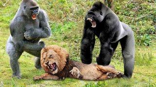 ГИГАНТСКАЯ ГОРИЛЛА В ДЕЛЕ! Грозная обезьяна, которую боятся даже Львы..