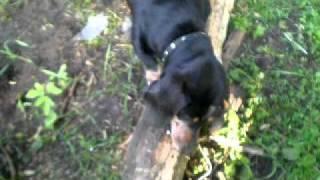 Собака - Бобёр !!