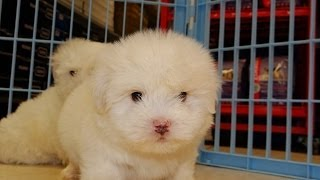 Coton De Tulear, Puppies, For, Sale, In, Raleigh, North Carolina, Nc, Lumberton, Kernersville, Mint
