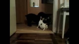 Собака жалеет кошку!!! Она не понимает,  что происходит.