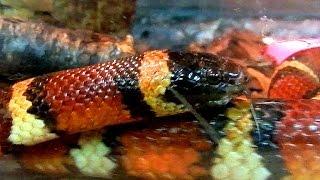 Рептилии. Змеи. Молочная Кольчатая Змея. Мир животных змеи. Молочные змеи